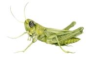 Grasshopper FB