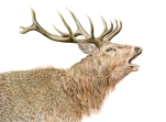 Red Stag 1