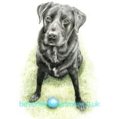 Black Labrador 2