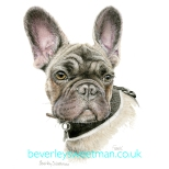 Frank _ French Bull Dog