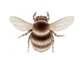 brown-bumble-bee